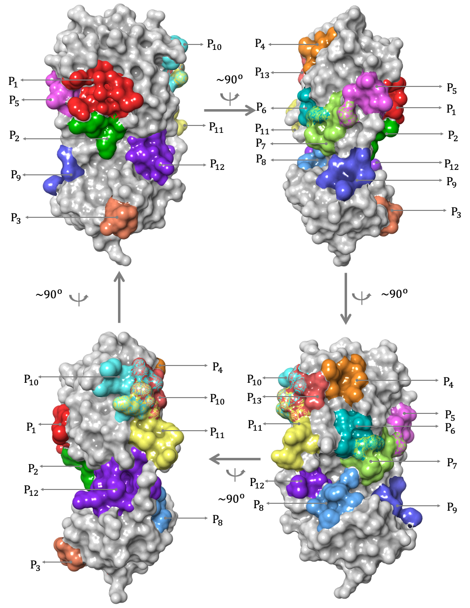 Computer-generated images of the SARS-CoV-2 main protease show binding sites for protease inhibitors.