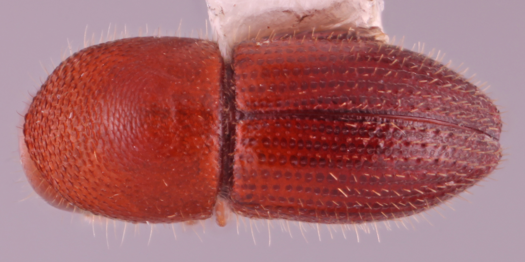 A photograph shows the Coptoborus bettysmithae, which is round, amber colored and dotted with little spines.