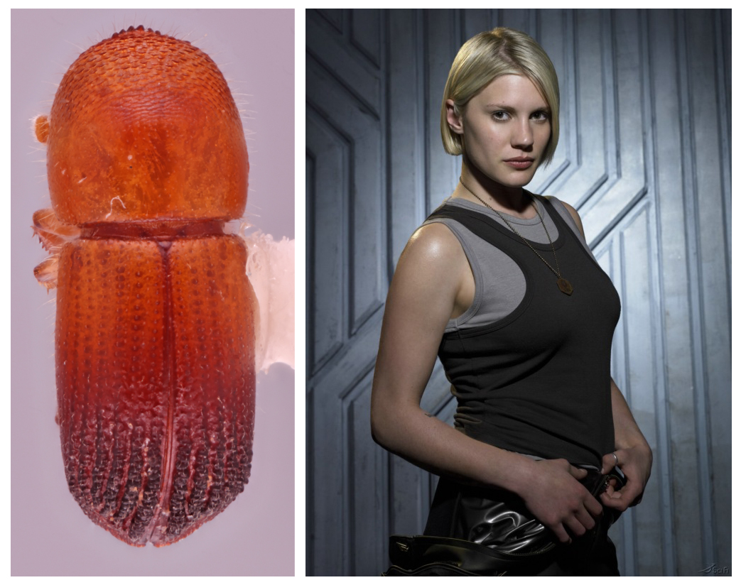 A photo of the Coptoborus starbuck, a red-orange beetle with a rough exterior next to a photo of Kara 'Starbuck' Thrace from 'Battlestar Galactica,' played by Katee Sackhoff.