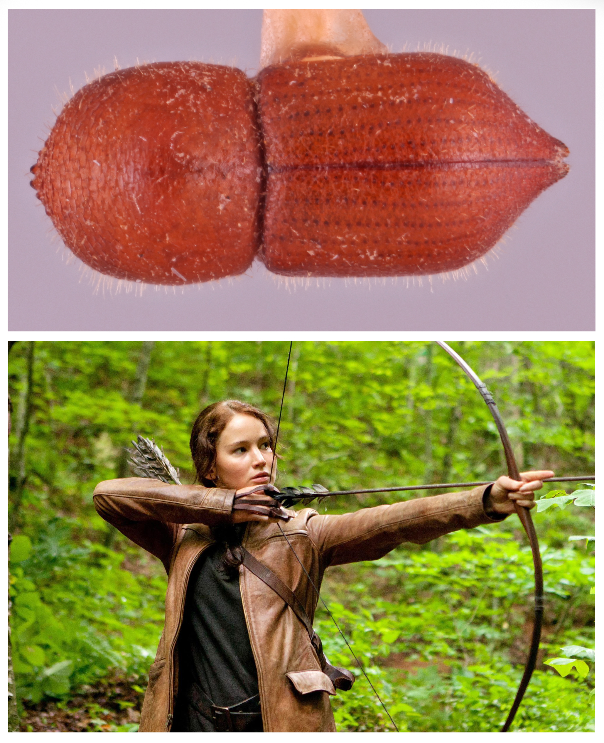 A photo of the Coptoborus katniss. This amber-colored beetle's wing covers come to a point, like an arrowhead, reminding the researchers of Katniss Everdeen, shown in a photo below holding a bow and arrow. The character is played by Jennifer Lawrence in the film adaptation of The Hunger Games.