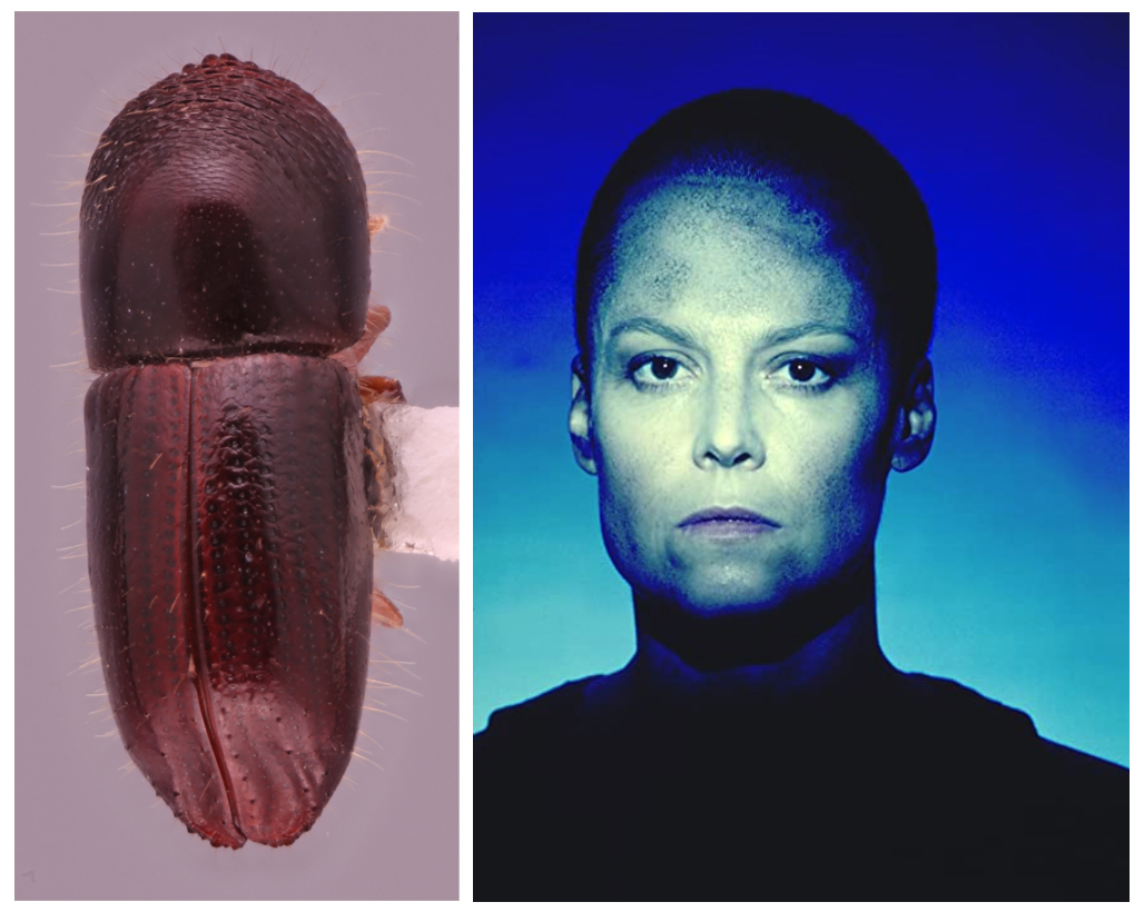 A photo shows the Coptoborus ripley, which is smoother and a deeper brown than some of its relatives. Its glabrous look led MSU's researchers to name it after Ellen Ripley — played by Sigourney Weaver and shown in a photo on the right — who had a shaved head Alien 3
