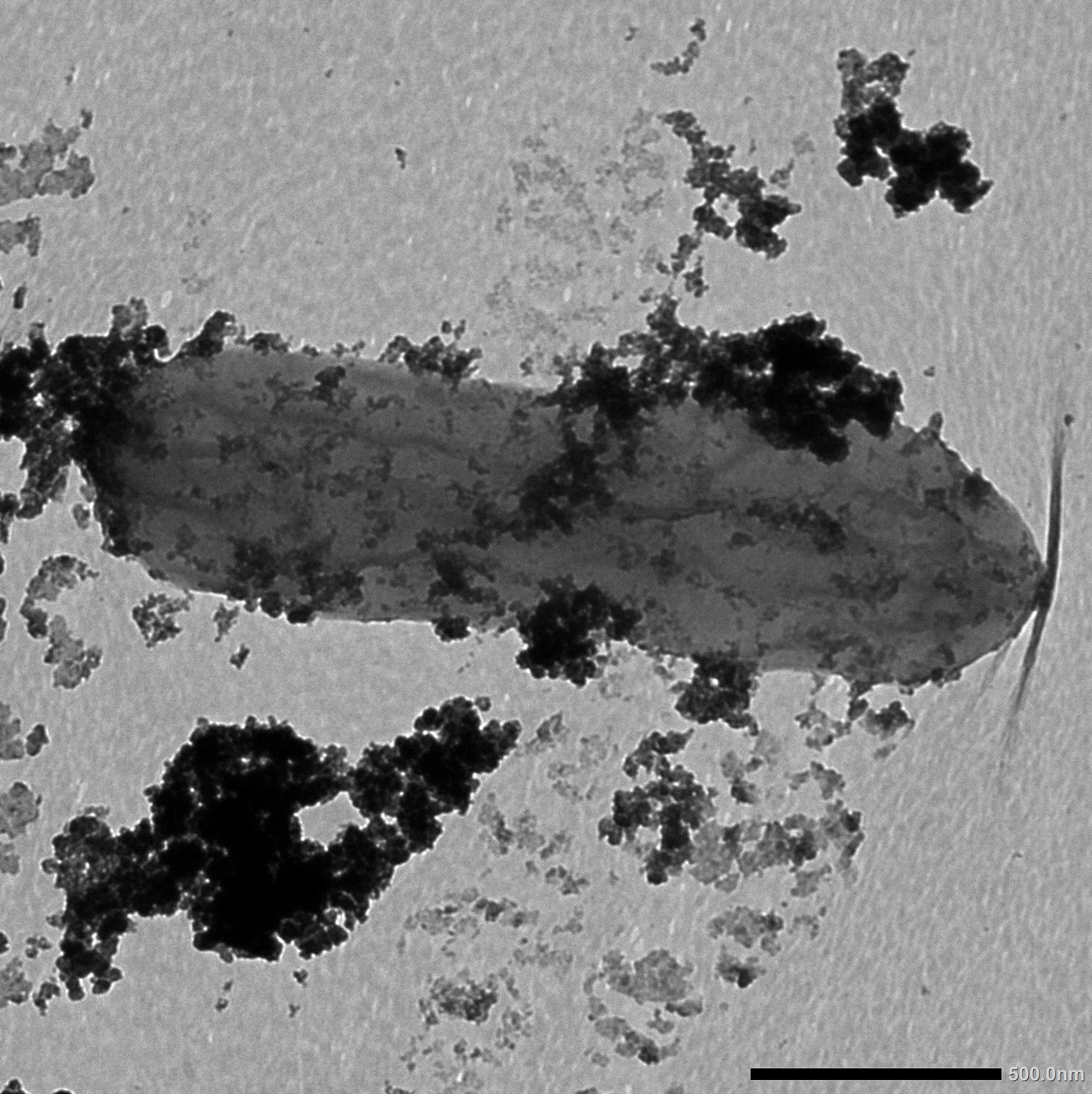 A microscope image shows an oblong, gray bacterial cell coated with clumps of dark speckles, which are mineral particles containing cobalt.